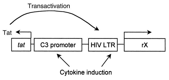 The two-component C3-tat/HIV promoter. LTR, long terminal repeat.