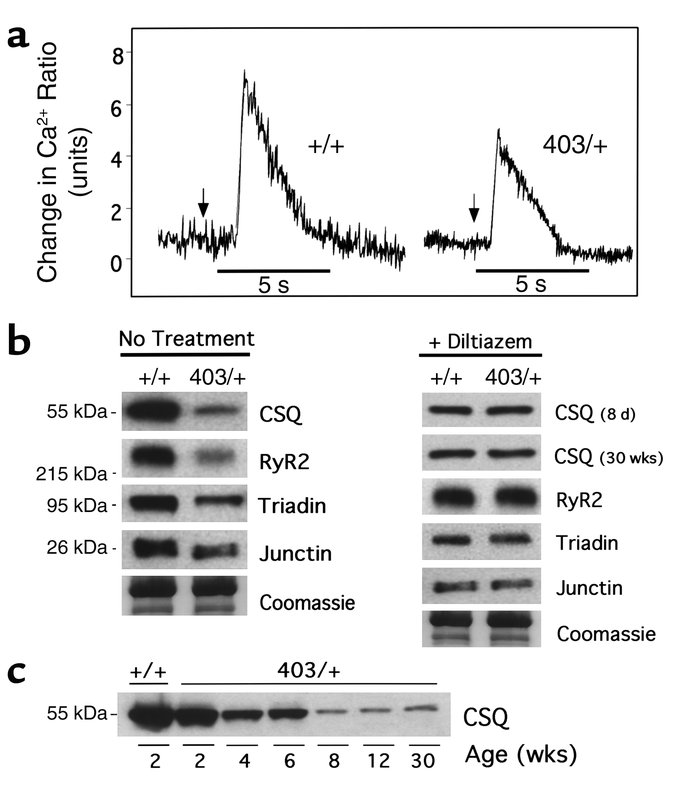 SR Ca2+ storage and altered Ca2+-related protein expression. (a) Ca2+ ch...