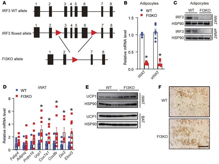 Adipocyte-specific IRF3 deficiency increases thermogenic gene expression...