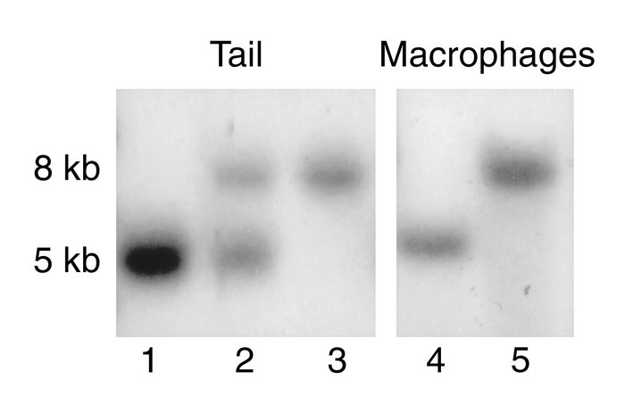 Southern blot genotype analysis of macrophages isolated from mice transp...