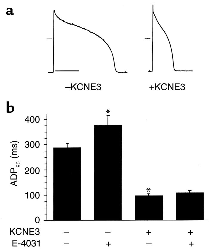 Effects of KCNE3 on APD; in vivo transduction of guinea pig ventricular ...