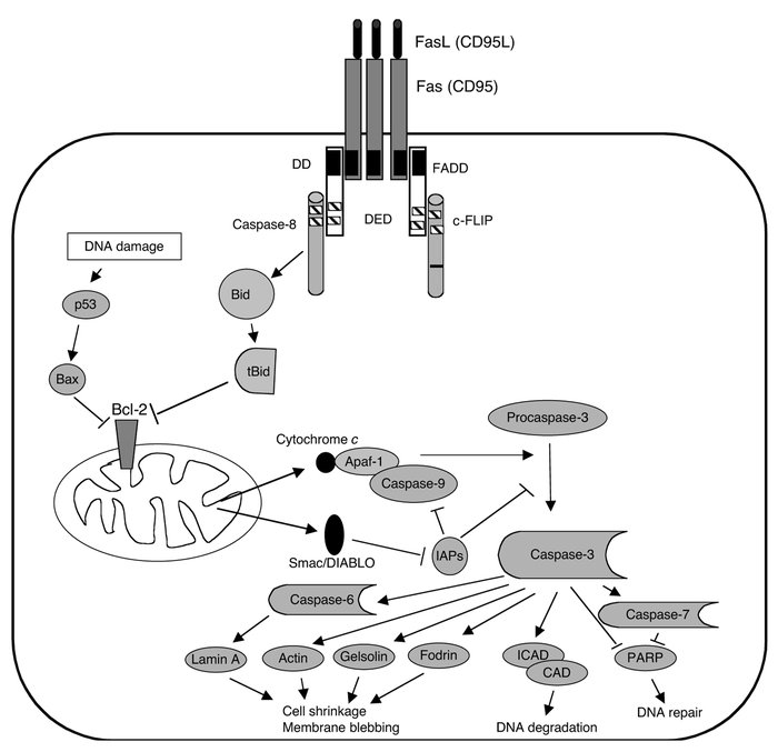 The death receptor pathway as typified by Fas (CD95/APO-1). Oligomerizat...
