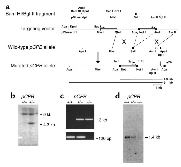 Generation and characterization of pCPB-deficient mice. (a) Design of th...