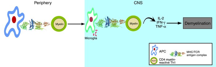 Autoimmune mechanism of MS. Naive, myelin reactive T cells are activated...