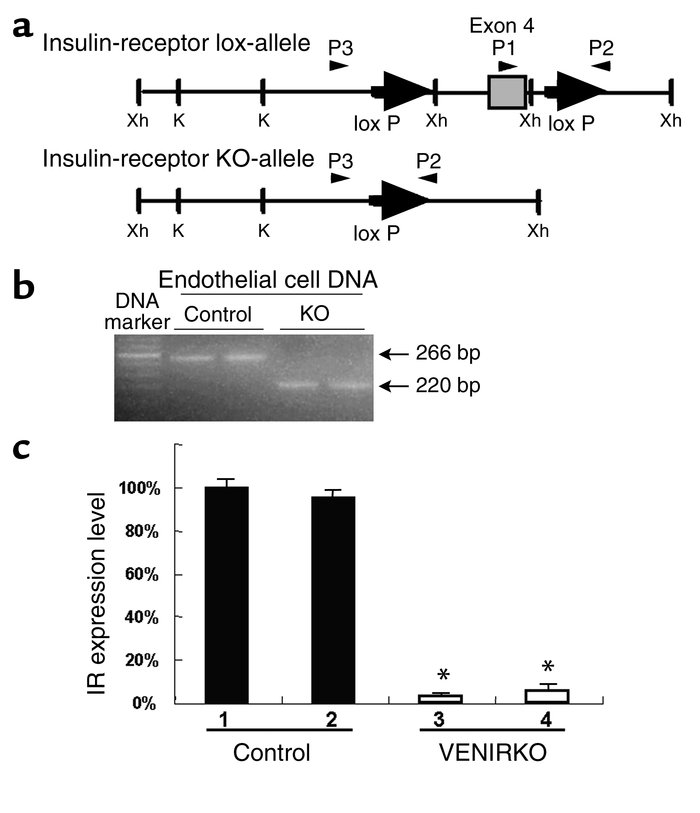 Recombination of the IR gene and expression of the IR mRNA in endothelia...