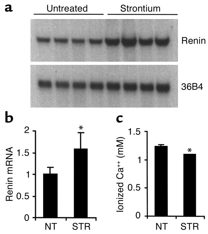 Elevation of renin expression in strontium-treated wild-type mice. Two-m...