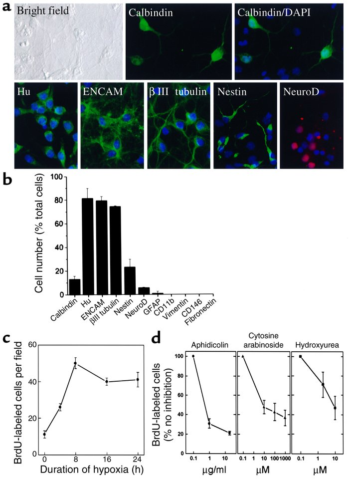 Hypoxia increases BrdU incorporation in cerebral cortical cultures. (a) ...