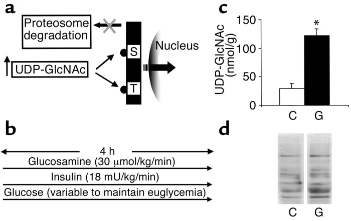 Activation of HBP increases O-linked glycosylation of nucleocytoplasmic ...