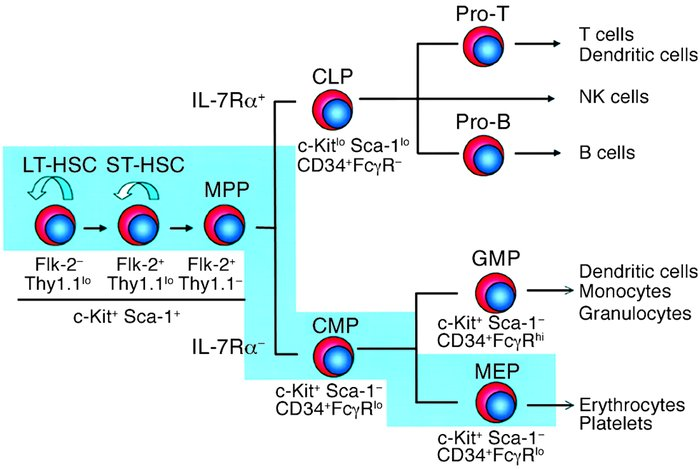 Proposed model of murine hematopoiesis based on prospectively isolatable...