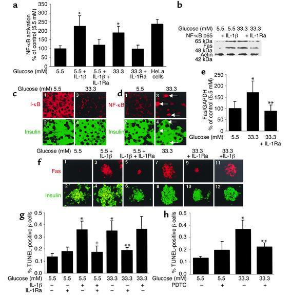 Glucose decreases β cell I-κB expression and induces IL-1β–meditated NF-...