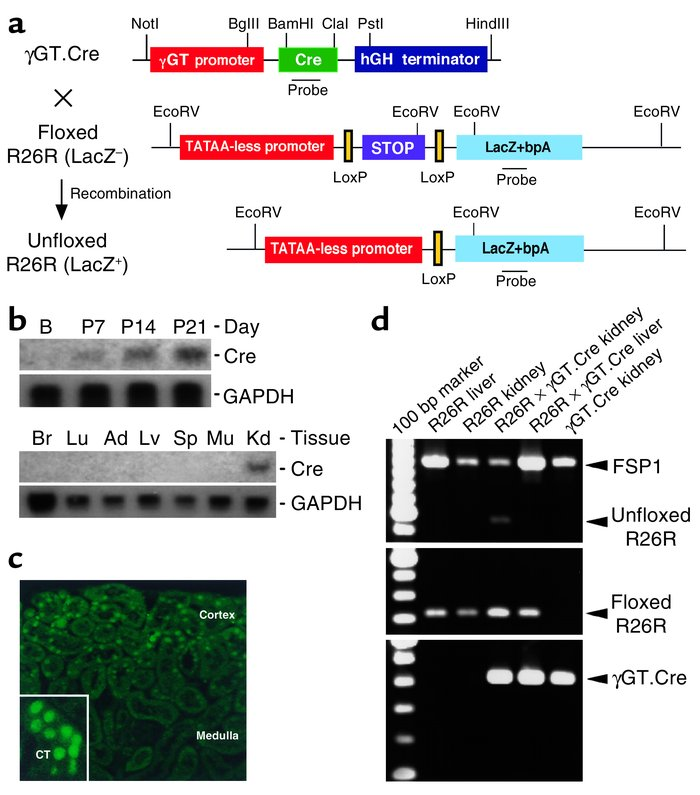 Characterization of γGT.Cre mice. (a) Plasmid map of the γGT.Cre transge...
