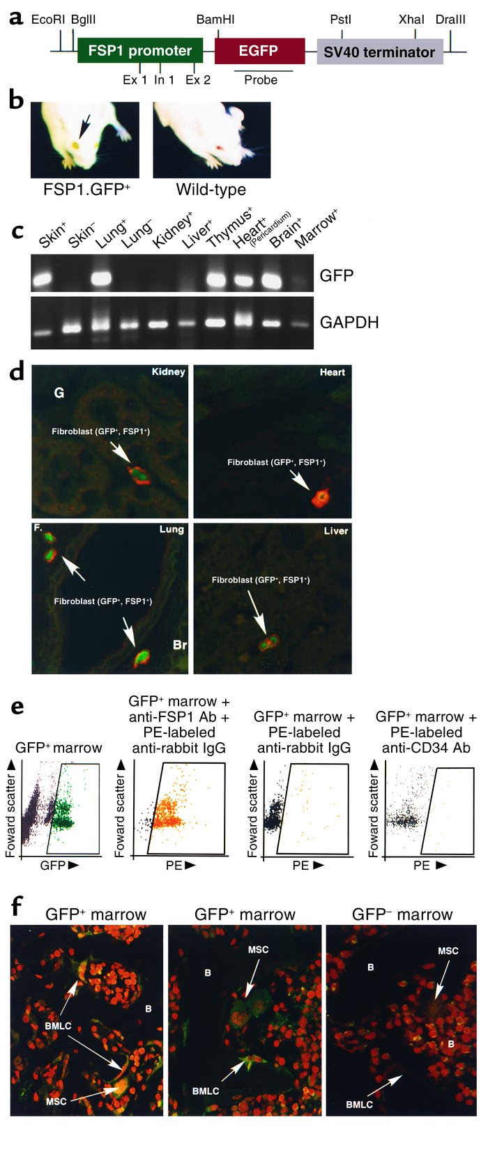 Characterization of FSP1.GFP transgenic mice. (a) Plasmid map of the FSP...