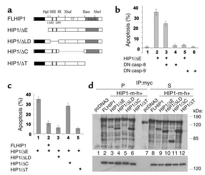 HIP1/ΔE–mediated apoptosis is dependent on caspase-9 and functions as a ...