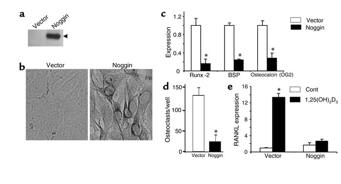 Effects of overexpression of noggin in U-33 cells. Overexpression of nog...