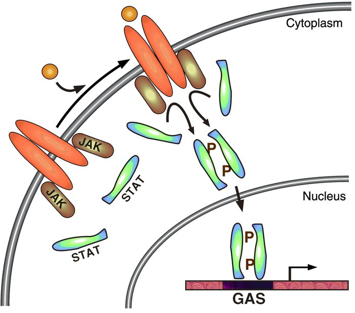 The JAK-STAT signaling pathway. Upon binding ligand, receptor-associated...