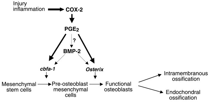 Schematic model representing the potential mechanism of COX-2 regulation...