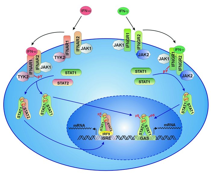 JAK-STAT signal transduction in response to type I and type II IFNs. Upo...