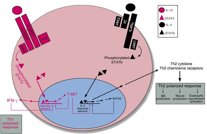JAK-STAT signaling and the generation of Th1 and Th2 cells. Following an...
