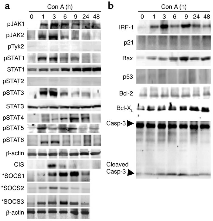 Activation of multiple JAKs, STATs, SOCS, and apoptosis-associated prote...