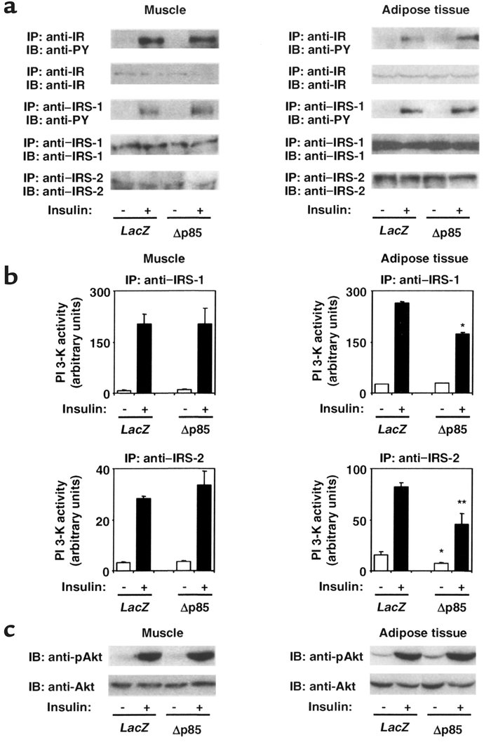 Effects of Δp85 expression in the liver on insulin-induced activation of...