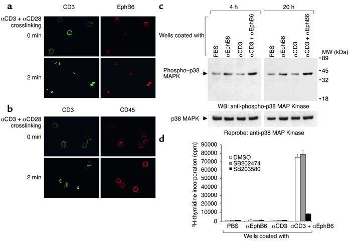 EphB6 signaling. (a) Rapid colocalization of EphB6 with TCR caps after a...