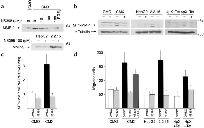 Induction of MMP-2 activation, MT1-MMP expression, and cell invasion by ...