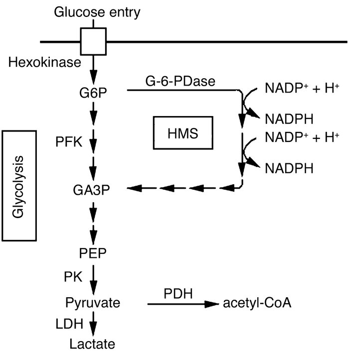 Glycolysis and the HMS. Enzyme activities are indicated by arrows. Impor...