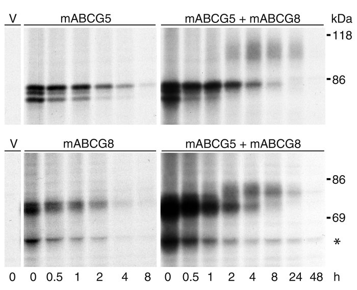 Pulse-chase analysis of epitope-tagged ABCG5 and ABCG8 in transiently tr...