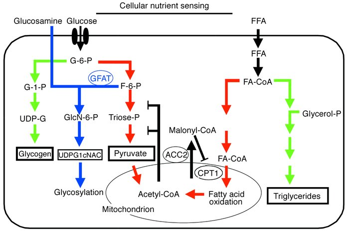 Two cellular fuel-sensing pathways. The hexosamine biosynthesis pathway ...