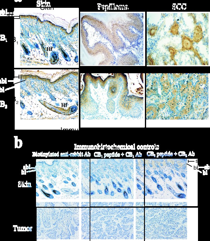 Immunohistochemical analysis of cannabinoid receptor expression in mouse...