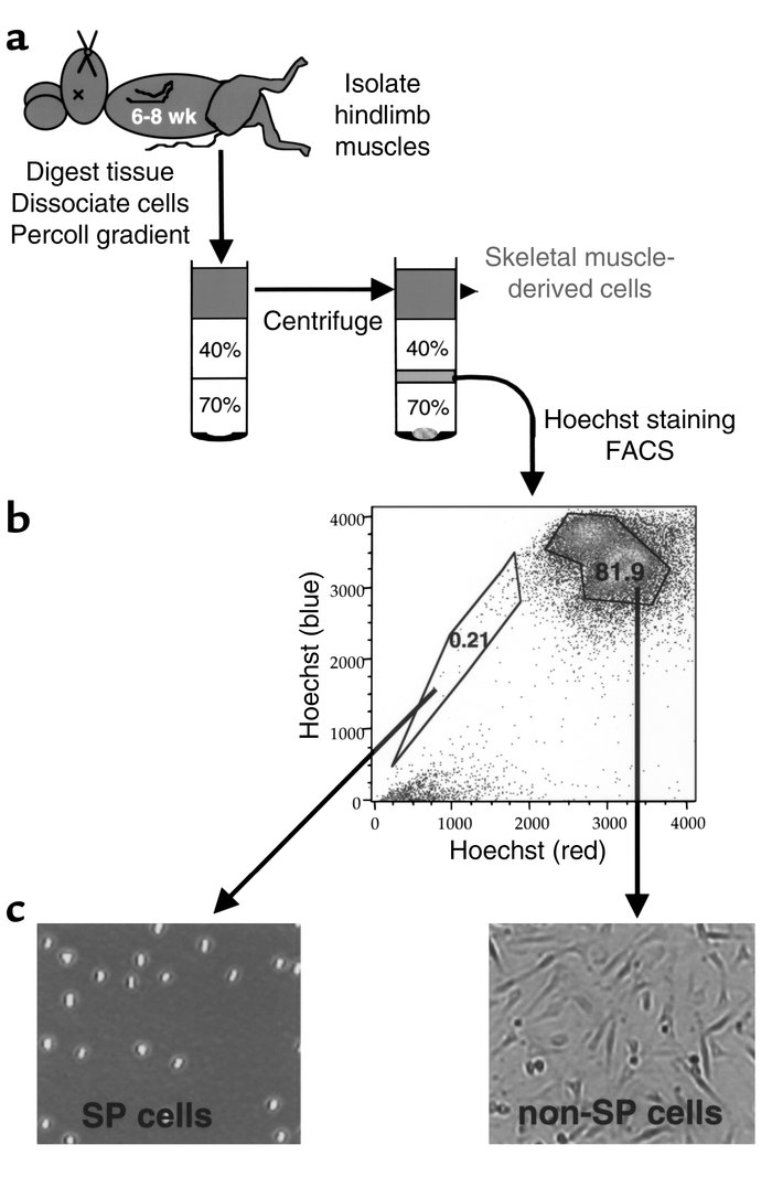 Isolation of murine skeletal muscle progenitors. (a) Skeletal muscle ste...