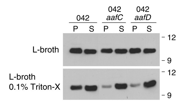 Western immunoblots for Aap performed on supernatants (S) or pellets (P)...