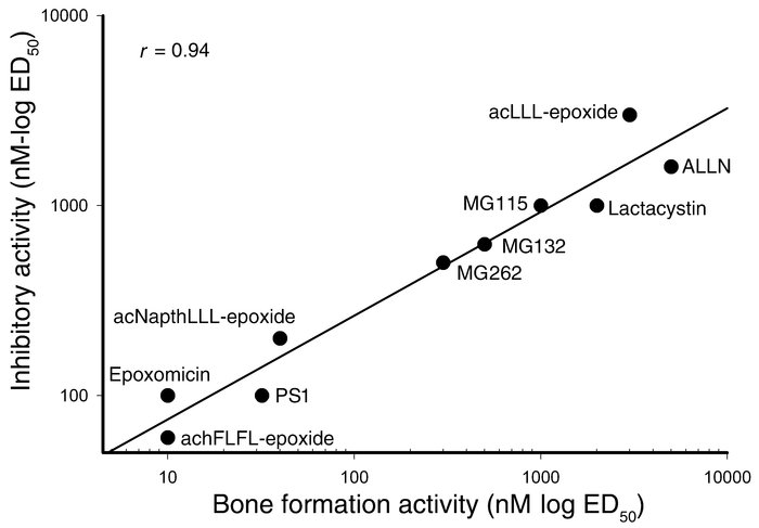 Proteasome inhibition correlates with bone formation. The stimulation of...