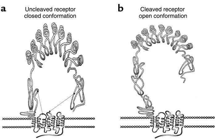 Two possible structural configurations of TSH receptor. (a) The uncleave...