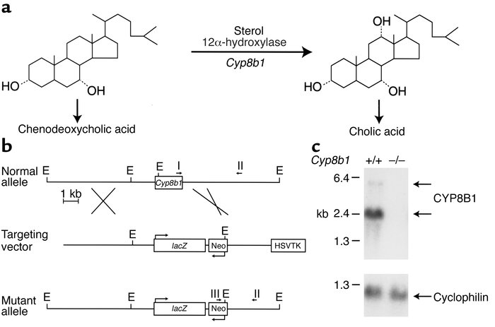 Deletion of mouse Cyp8b1. (a) Reaction catalyzed by CYP8B1, a microsomal...
