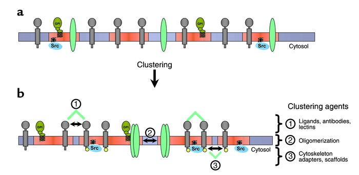 Mechanisms of raft clustering. (a) Rafts (red) are small at the plasma m...