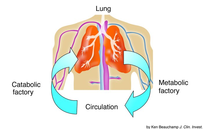 Using the lung as a genetically engineered metabolic or catabolic factor...