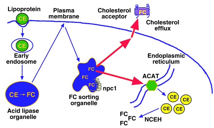 Mechanisms that protect cells from excess accumulation of FC. Lipoprotei...