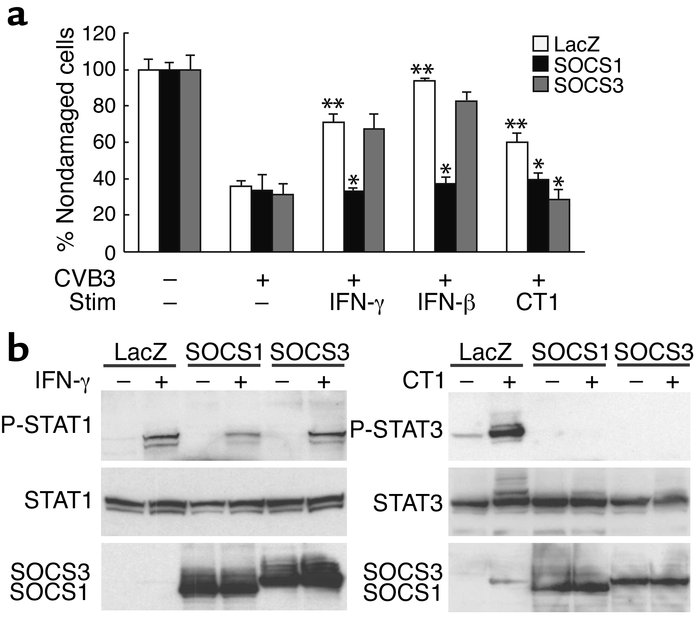Effect of SOCS1 and SOCS3 on the cytoprotective effect of IFNs and CT-1 ...