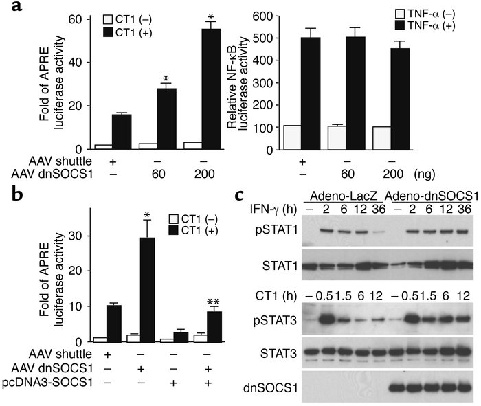 Augmentation of the JAK/STAT pathway by dnSOCS1 in cardiac myocytes. (a ...