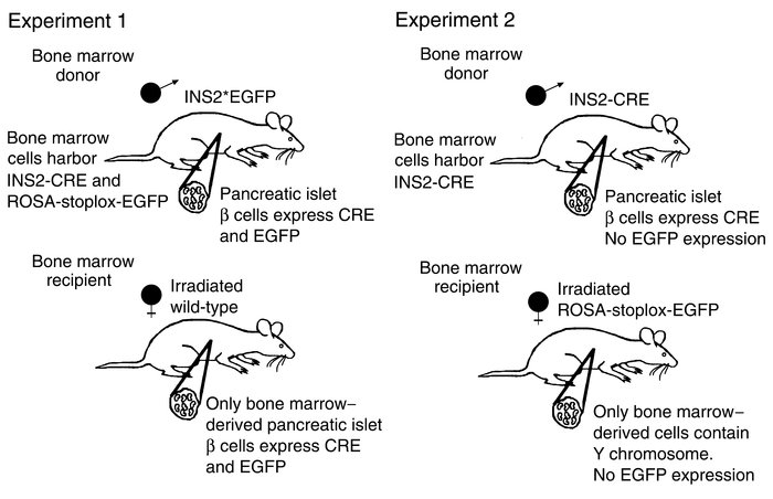 Mouse bone marrow transplantation protocol. Experiment 1: Bone marrow fr...