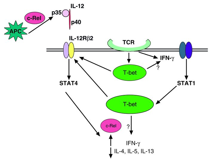 Signaling and transcriptional pathways of Th1 differentiation and the po...