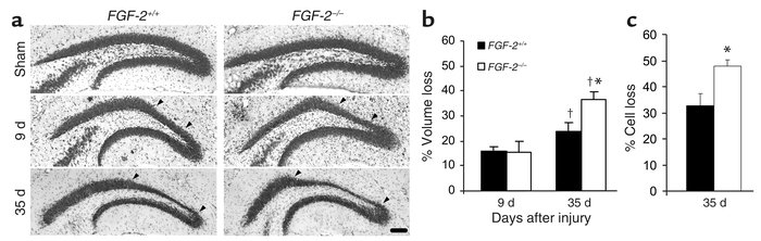 Cell loss in ipsilateral GCL of DG after CCI in FGF-2+/+ and FGF-2–/– mi...