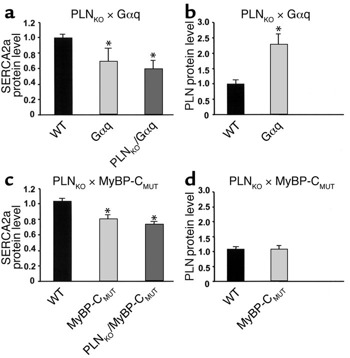 Quantitative immunoblotting of SERCA2a and PLN in mouse ventricular homo...