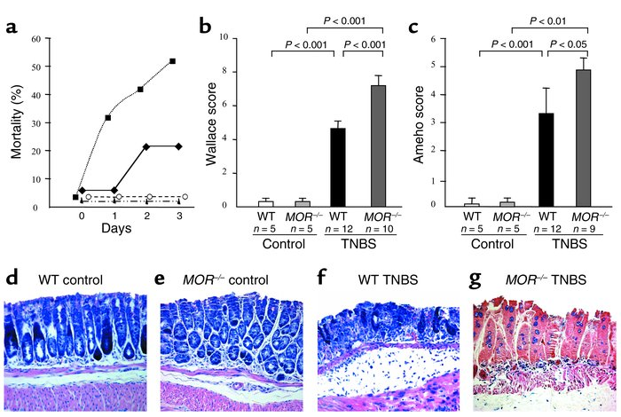 MOR–/– mice are more susceptible to TNBS-induced colitis. (a) Mortality ...