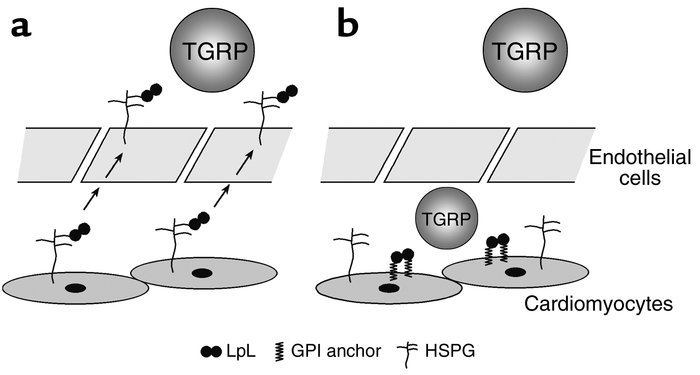 Mechanisms of LpL mediated lipid uptake from TG-rich particles in the he...