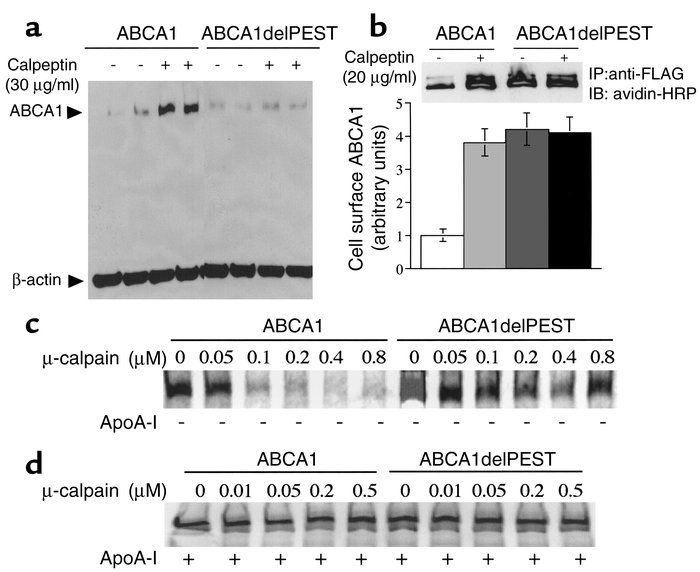 Calpain protease catalyzes PEST-dependent degradation of ABCA1. (a) Leve...