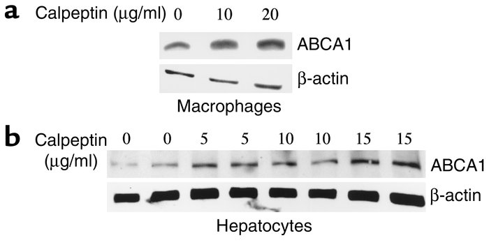Calpeptin increases ABCA1 in primary mouse macrophages and hepatocytes. ...
