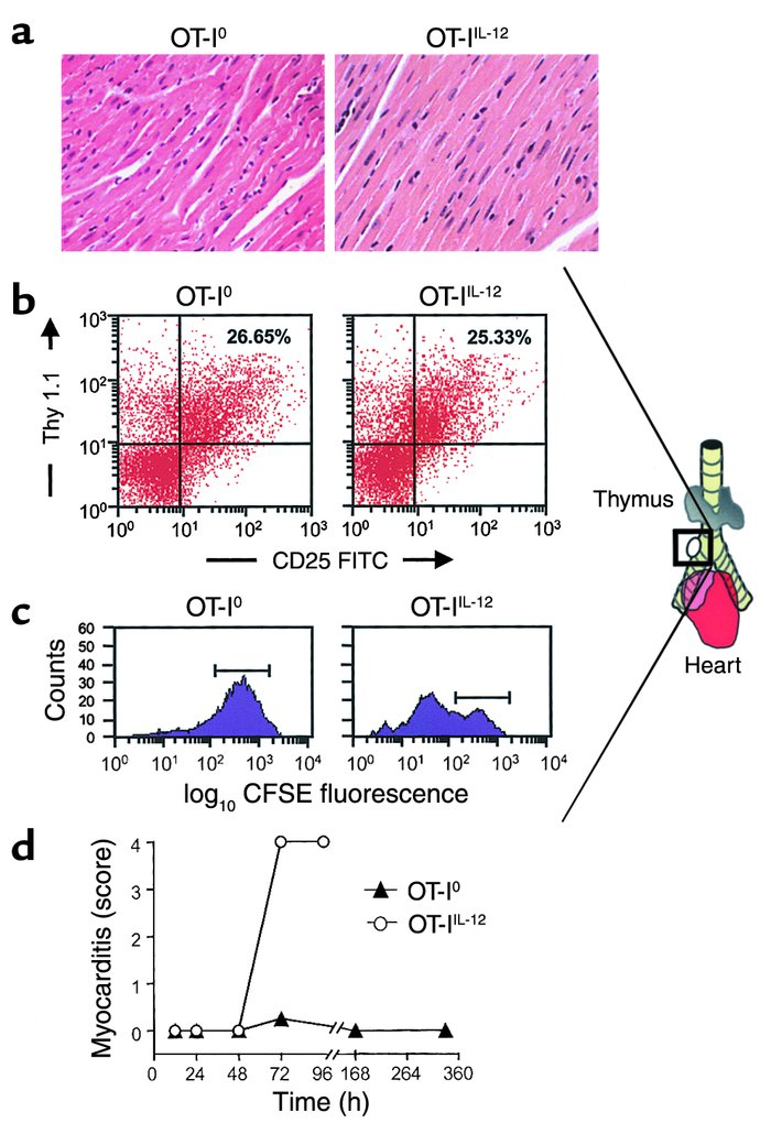 In vivo migration and proliferation of OT-I effector cells. (a) Hematoxy...
