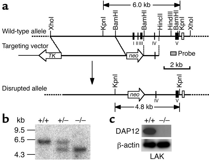 Targeted mutation of the DAP12 gene in mice. (a) Schematic illustration ...